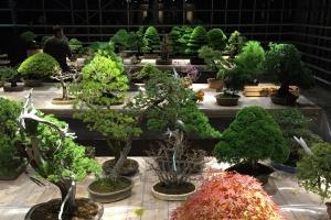 В Аптекарском огороде открывается выставка бонсай