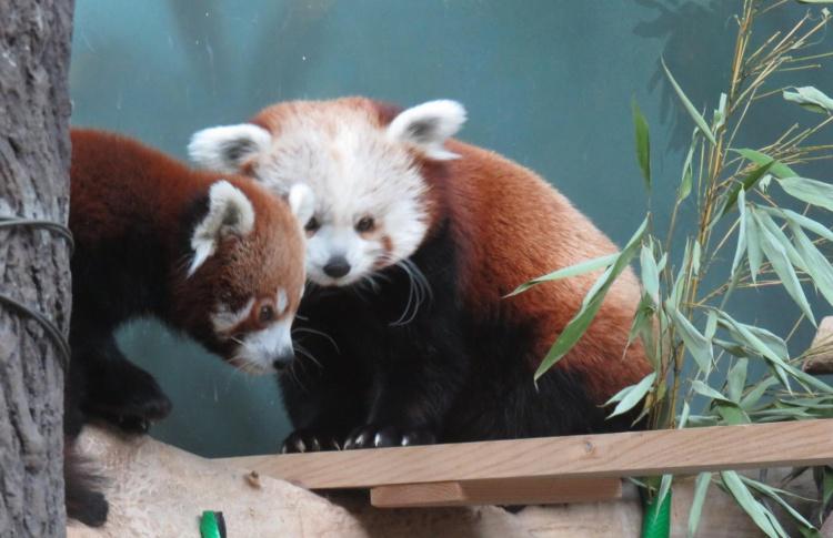 В зоопарке появился самец красной панды