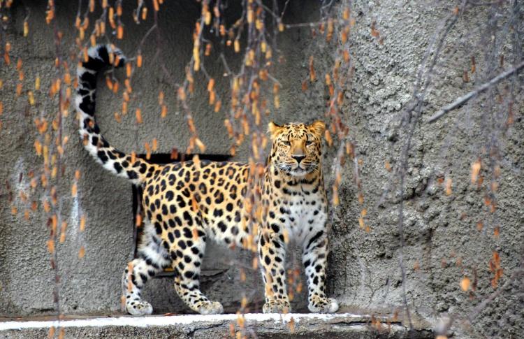 В зоопарке появился Мизер из леопардов, которых остался мизер