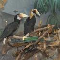 В зоопарк привезли пару папуанских птиц-носорогов