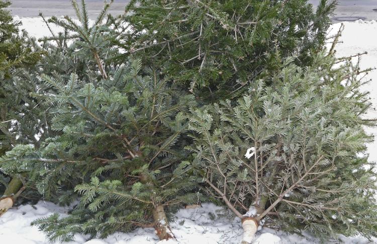 В Москве могут появиться пункты сдачи новогодних елок