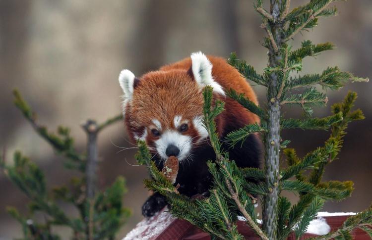 Красные панды в зоопарке начали выходить на улицу