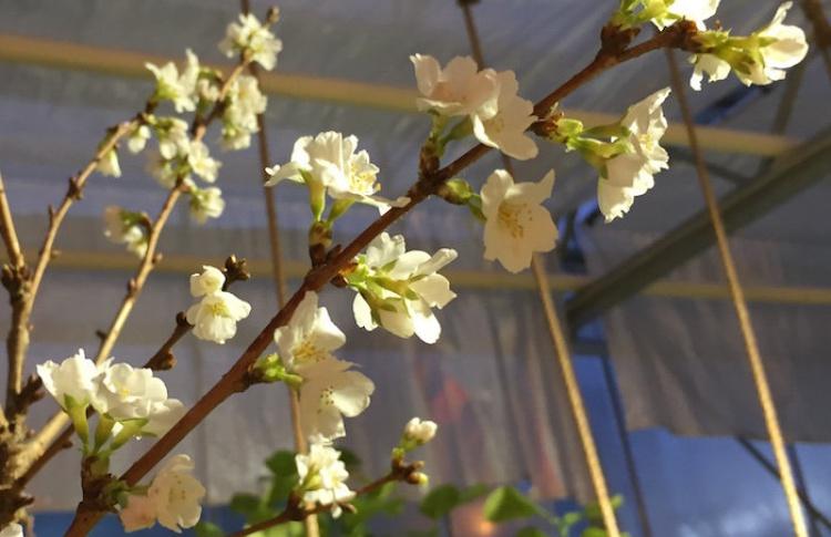 В«Аптекарском огороде» зацвела вишня