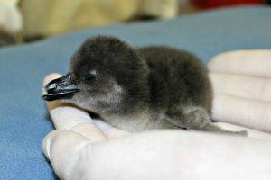 В зоопарке африканские пингвины вывели птенцов