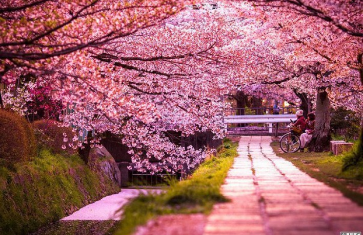 Залы Эрмитажа украсят цветущей сакурой