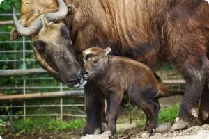 В зоопарке родился сычуаньский такин