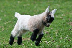 В зоопарке родились камерунские козлята