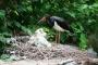 У черных аистов в зоопарке появились птенцы