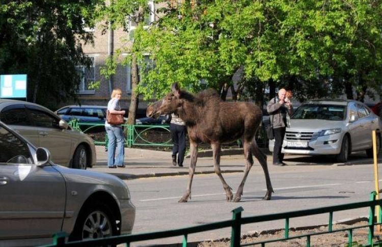 Сегодня утром первым посетителем магазина «Щелковский» стал лось