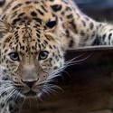 В Московском зоопарке будет жить леопард Коля с трудной судьбой