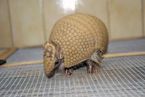 В зоопарке скоро появится шаровидный броненосец из Японии