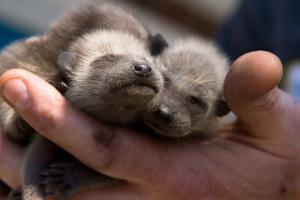 В Московском зоопарке родились еноты