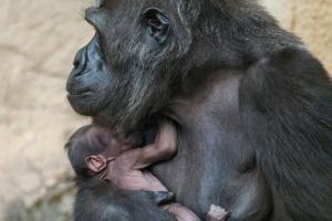 В Московском зоопарке родился горилленок