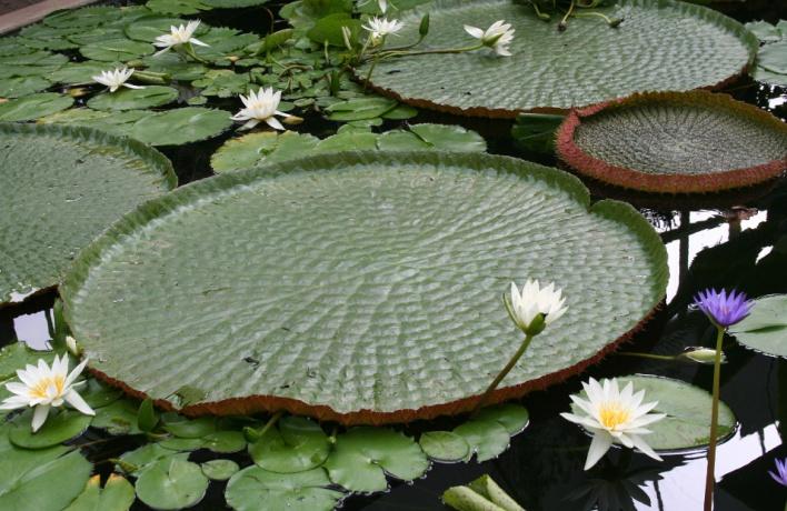 Кувшинку с двухметровыми листьями покажут в «Аптекарском огороде»