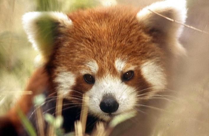 В Московском зоопарке покажут, как кормить красную панду