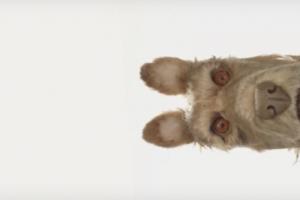 Уэс Андерсон снимает мультик про собак