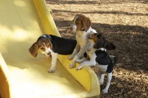 Как гуляют собаки за рубежом