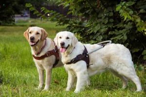 Собаки-помогаки: как готовят собак-поводырей и как им помочь?