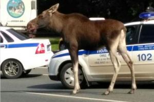 На юго-востоке Москвы полицейские пытались поймать лося. Животное спряталось в озере