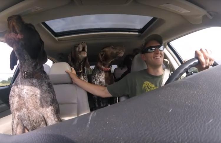 Видео дня: четыре собаки не могут сдержать восторг от поездки на машине