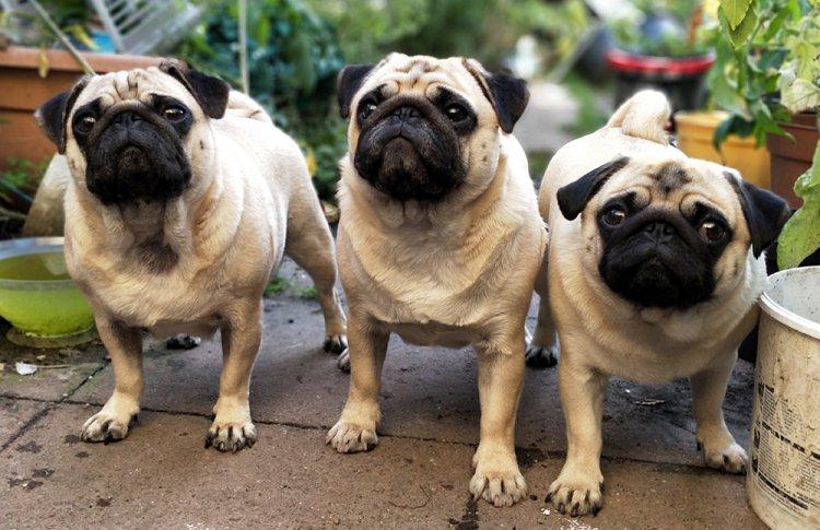 Искусственно выведенные породы собак реферат 2929