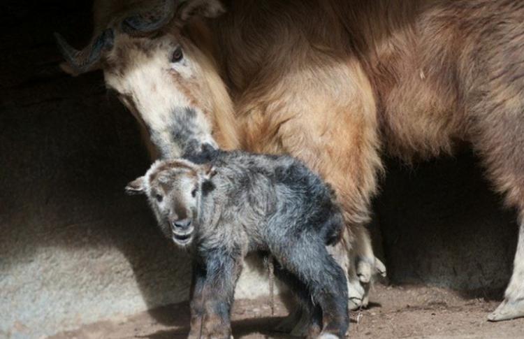 Московский зоопарк покажет малыша-такина посетителям экотуров