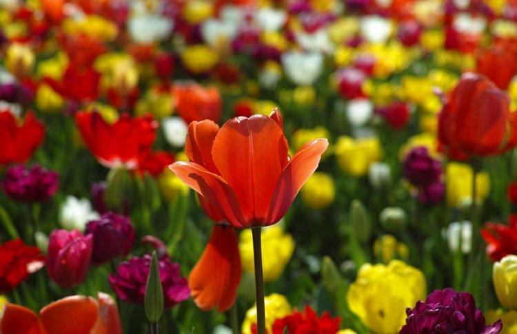 Москвичам представят тюльпаны с запахом карамели