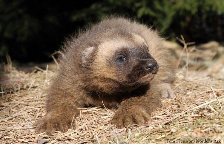 В Московском зоопарке родился детеныш росомахи