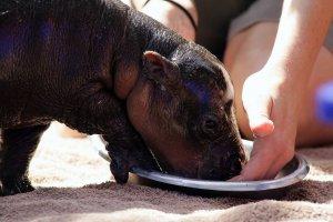 Зоопарк приглашает москвичей на завтрак к бегемоту