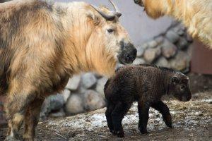 В Московском зоопарке родились винторогие козлики и овцебычки