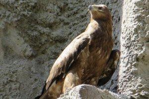 В Московском зоопарке птенца степного орла назвали в честь вратаря сборной России по футболу Игоря Акинфеева.