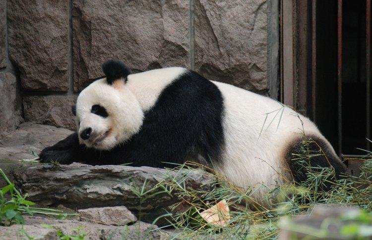 Пекинский зоопарк впервые покажется москвичам