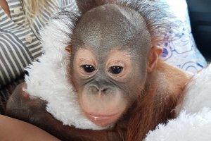 В Московский зоопарк приехал кроха-орангутан