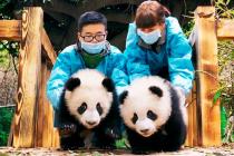 Панды 3D