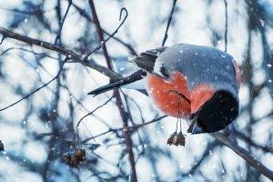 В Москву вместе со снегом прилетели снегири