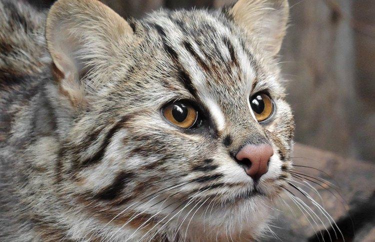 Дальневосточная кошечка будет жить теперь в Московском зоопарке