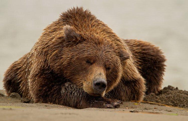 В Московском зоопарке заснули три медведя