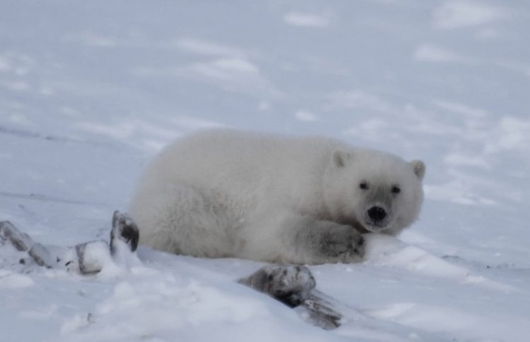Московский зоопарк спасает чукотского медвежонка