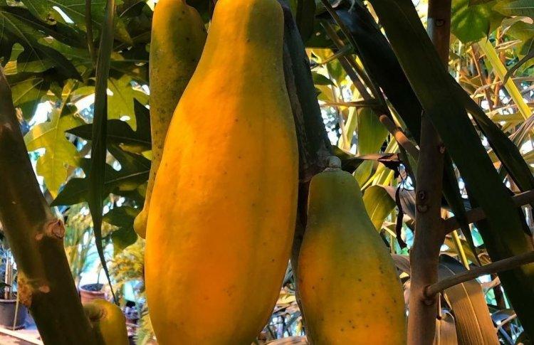 Из Аптекарского огорода украли созревшую папайю