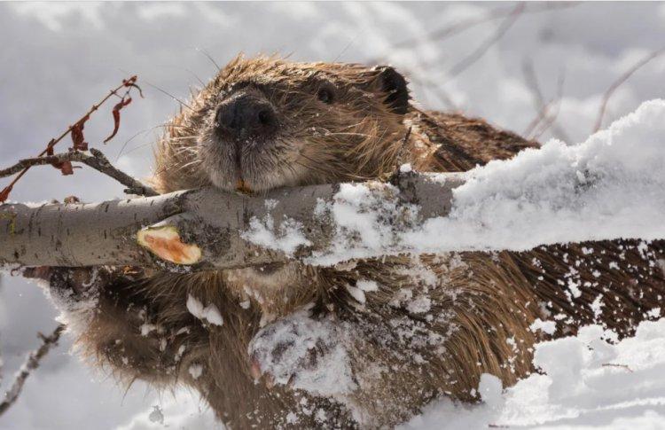 Бобры и влюбленные в природу вместе встретят 14 февраля
