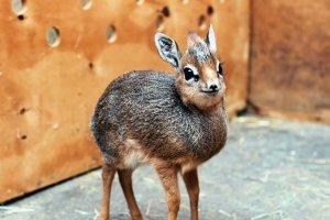 В Московском зоопарке родился маленький дикдик