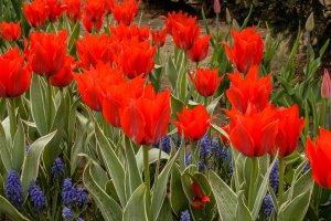 В Москве под открытым небом зацвели тюльпаны