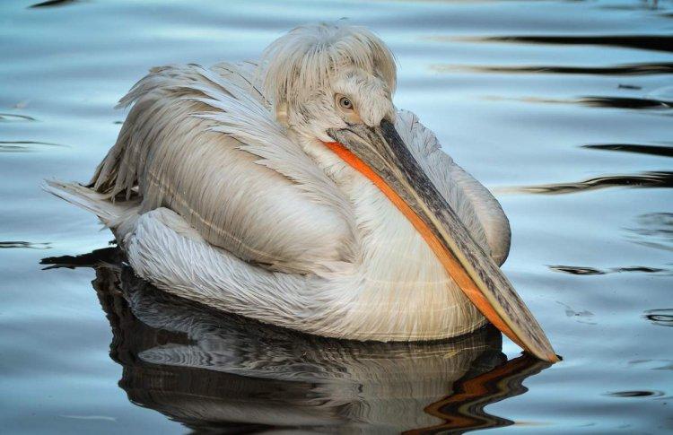 Кудрявые пеликанчики вылупились в Московском зоопарке