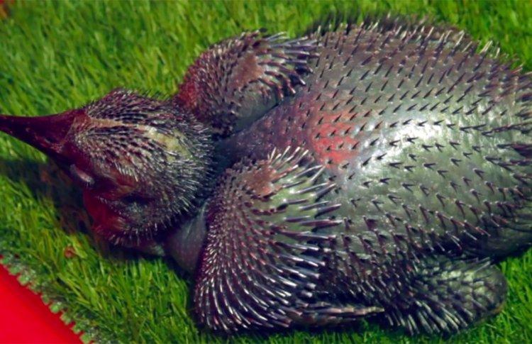 В Московском зоопарке впервые вылупились 3 рогатых вороненка