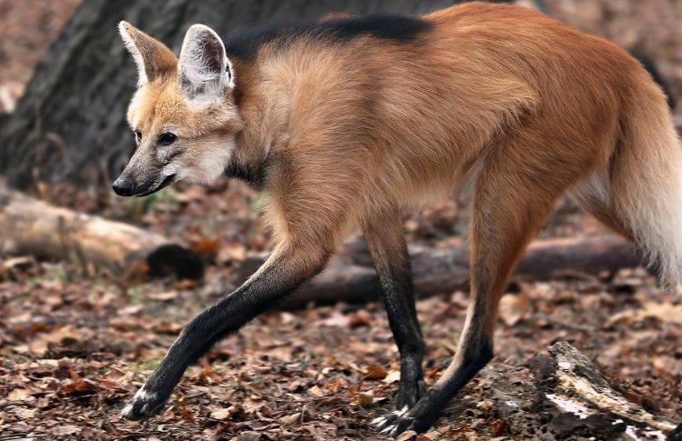 В Московский зоопарк прибыл жених для гривистой волчицы