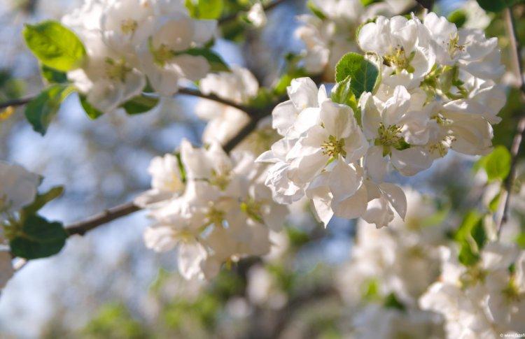 «Николин день» привезет на Манежную площадь яблоневый сад
