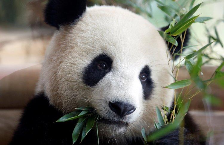 Большие панды ждут москвичей в зоопарке с 6 июня