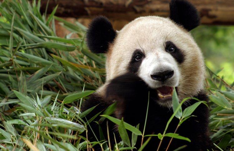 Гостям Московского зоопарка покажут панд из прошлого века