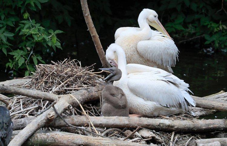 У розовых пеликанов Московского зоопарка появился птенец