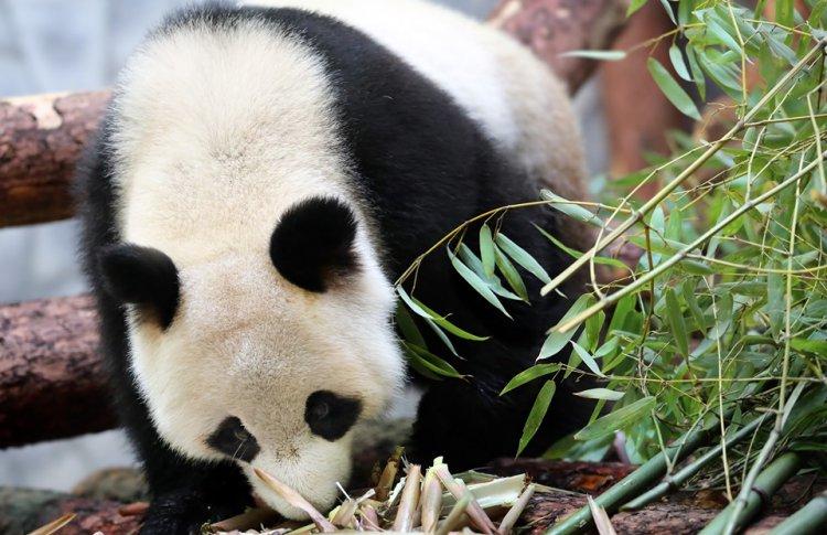 Торт из фигурного льда, китайское шествие и музыка: как прошел день рождения панд в Московском зоопарке